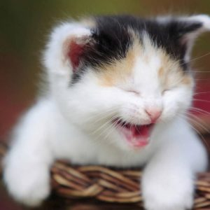Smiley Face Kitten
