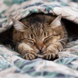 Cute Cat Lay Under The Covers