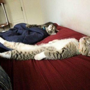Kucing Tidur Macam Manusia