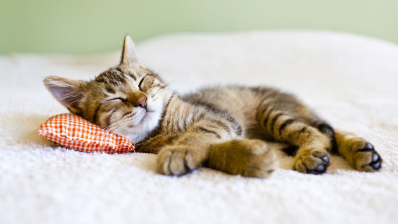 Kucing Comel Sedang Tidur